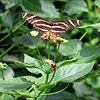 Brown Striped butterfly with outspread wings surrounded by greenery.