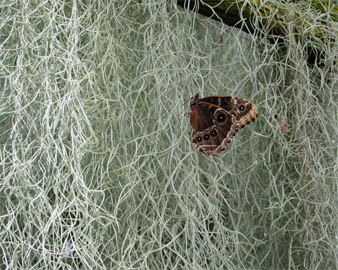 White Butterfly or brown moth with eye son the wings sitting on hanging grassy moss