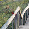 Red bird perched on a wooden walkway by a beach.