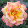 Bright yellow rose with pink edges.